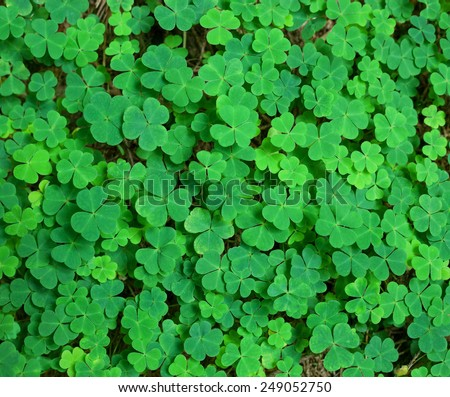 green background with three-leaved shamrocks. St.Patrick's day holiday symbol. - stock photo