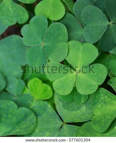 Green background with three-leaved shamrocks. St.Patrick's day holiday symbol.  - stock photo