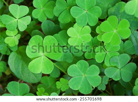 Green background with three-leaved shamrocks. St.Patrick's day holiday symbol. Shallow depth of field, focus on biggest leaf. - stock photo