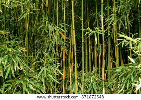 Green bamboo forest in Maui, Hawaii - stock photo