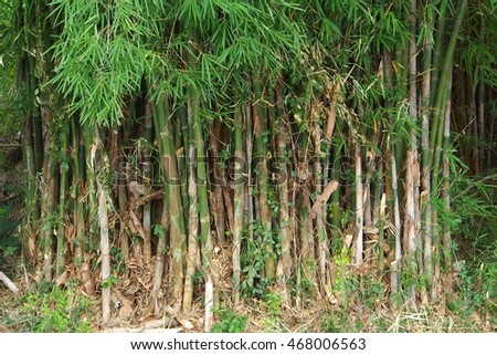 Green bamboo forest in Thailand