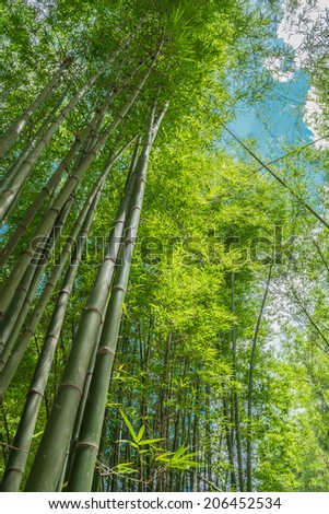 green bamboo forest with morning sunlight  - stock photo