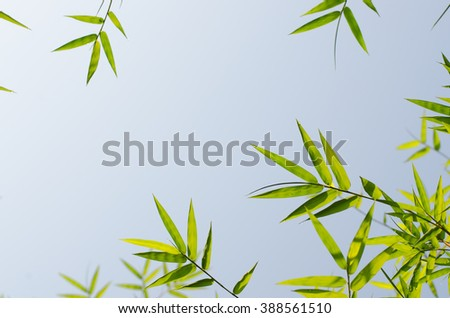 Green bamboo leaves with morning raindrops,  blue sky background, ant eye view.
