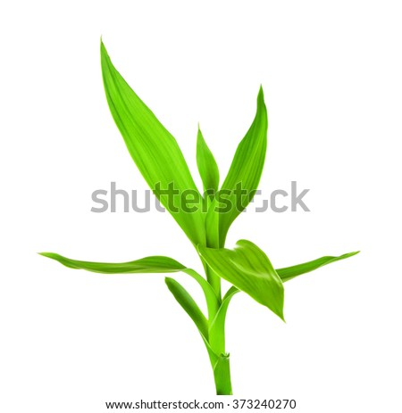Green Bamboo Sprout - stock photo