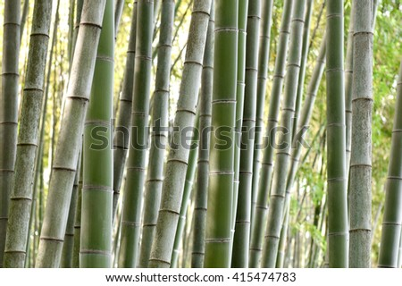 Green bamboo trees.