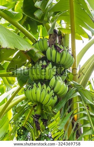 Green banana hanging on a branch of a banana tree
