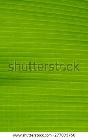 Green banana leaf background - stock photo