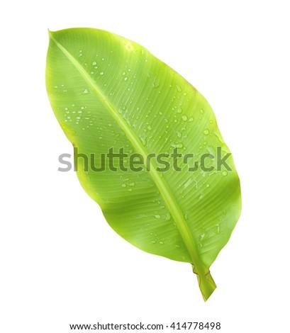 Green banana leaf  isolated on white background. - stock photo