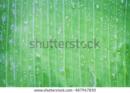 Green banana leaf with raindrop.