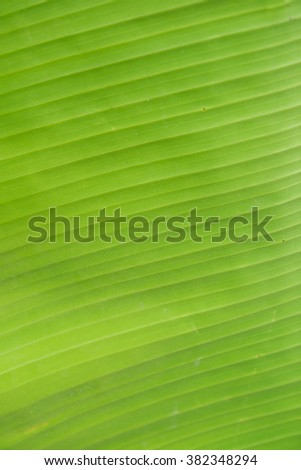 green banana leave background  - stock photo
