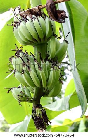 Green banana plant - stock photo