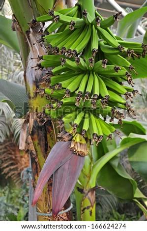 Green bananas hanging in a branch of banana trees  - stock photo