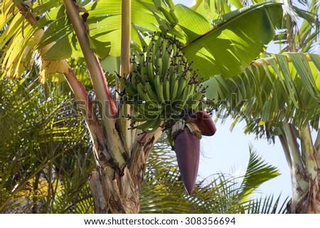 Green Bananas on the tree in Hawaii - stock photo