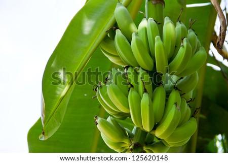 Green bananas on tree - stock photo