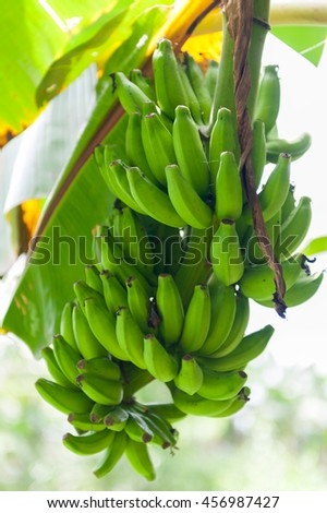 Green bannanas growing on a tree