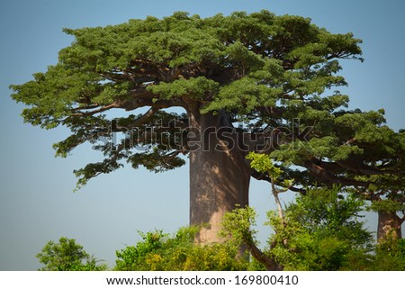 Green baobab at sunny day. Madagascar - stock photo