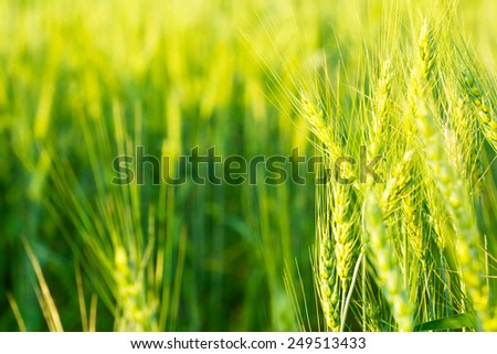 green barley background