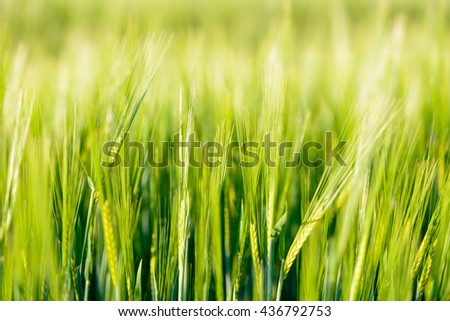 Green barley field
