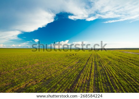 Green Barley Field In Early Spring. Agricultural Background. - stock photo