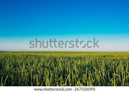 Green Barley Field In Late Spring Or Early Summer. Agricultural Background. Clear Blue Sky - stock photo