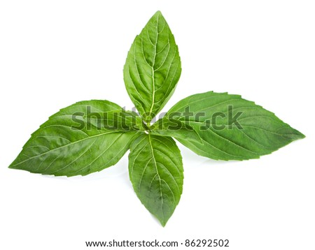 Green basil leaves isolated on white background - stock photo