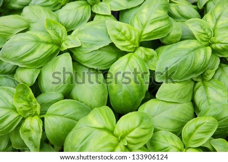 green basil leaves ready to taste the tasty kitchen recipes - stock photo