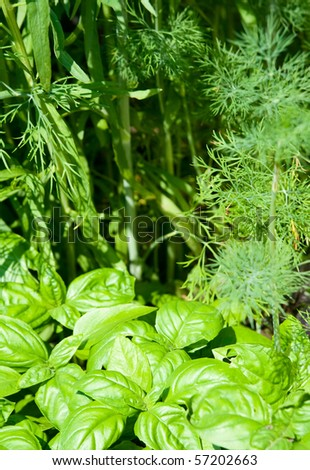 Green basil on the background of dill's  stems and leaves.