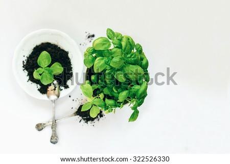 Green basil on white background. Planting process. - stock photo