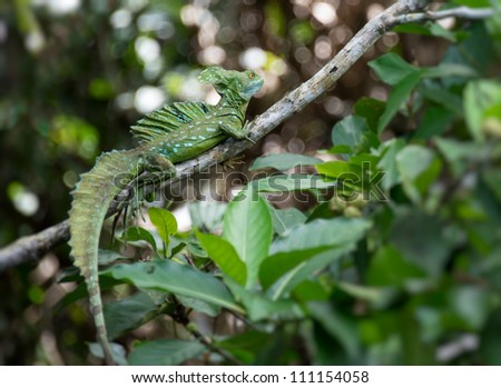 Green Basilisk (Basiliscus plumifrons) lizard perched in a tree in Costa Rica - stock photo