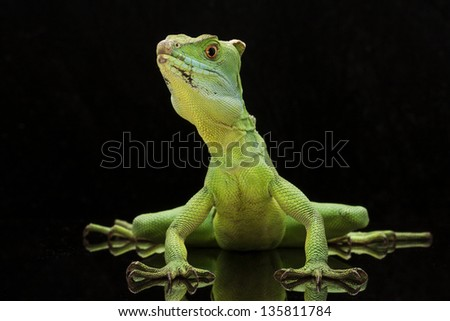 Green basilisks (Basiliscus plumifrons) isolated on black background.