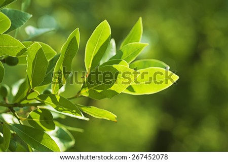 Green bay leaf growing in nature, spice ingredient background - stock photo