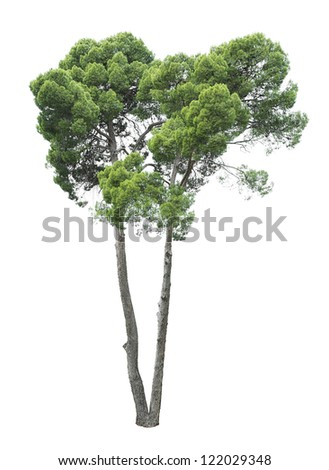 Green beautiful and tall tree isolated on white background - stock photo