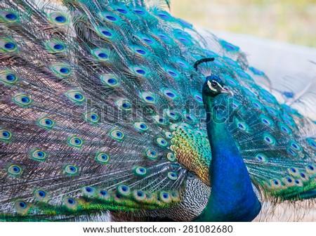 Green beautiful peacock - stock photo