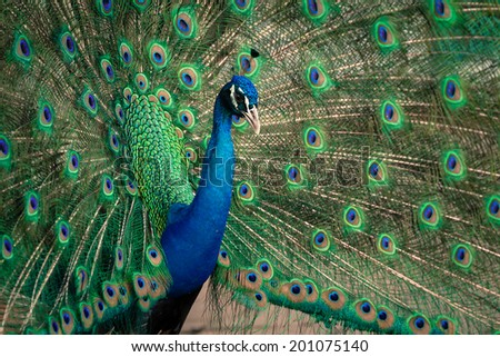 green beautiful peacock splendid with feathers out - stock photo