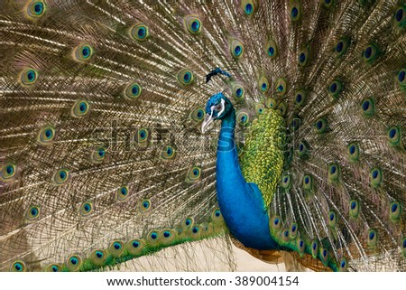 green beautiful peacock splendid with feathers out. - stock photo