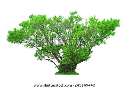 Green beautiful tree isolated on white background - stock photo