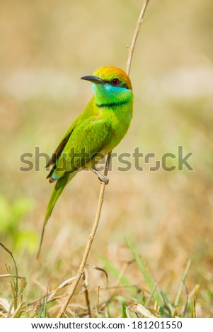 Green Bee - eater(Merops orientalis) on the branch in nature - stock photo