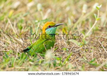 Green Bee - eater(Merops orientalis) on the floor in nature - stock photo