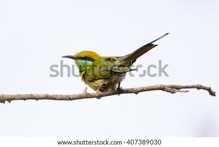 Green bee-eater (Merops orientalis) or little green bee-eater perching on tree