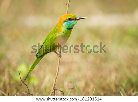 Green Bee - eater(Merops orientalis) stair at us in nature - stock photo