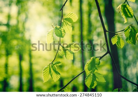 Green beech leaves in a forest at springtime - stock photo
