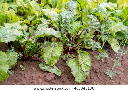 green beet leaves growing in the garden