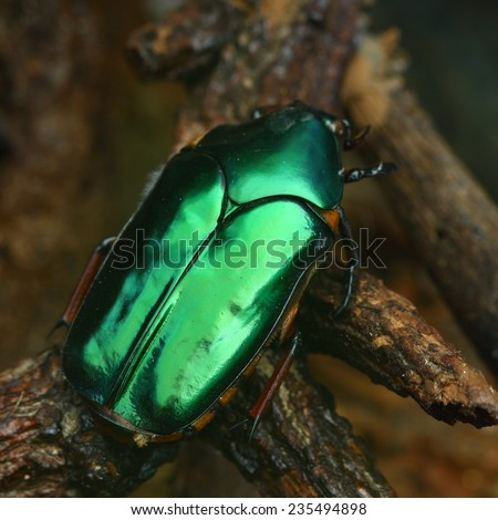 green beetle in forest - stock photo