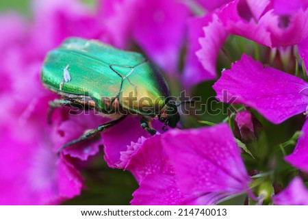 Green beetle on a pink flower. Close-up.