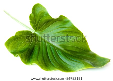 green big leaf isolated on white background - stock photo