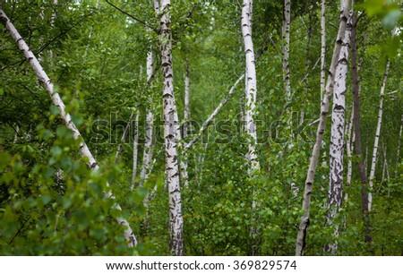 Green birch grove in bright summer day. - stock photo