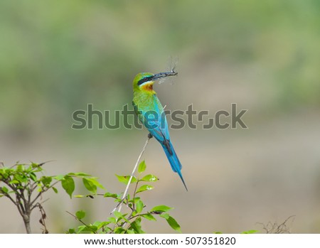 Green bird (Blue tailed Bee eater) eating dragonfly  on branch