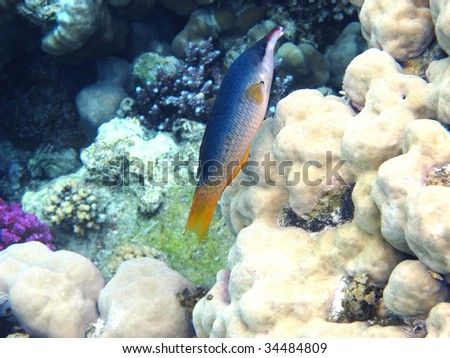 Green birdmouth wrasse