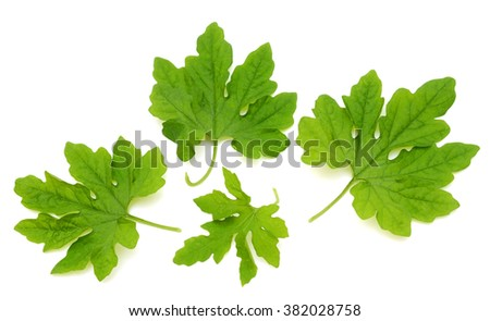 Green bitter gourd leaves isolated on white background