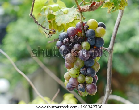Green - black grapes bunch rot. - stock photo